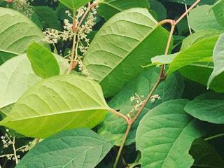 knotweed garden