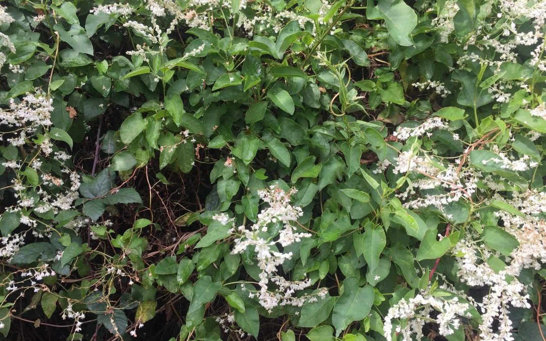 Plants that look like Japanese Knotweed